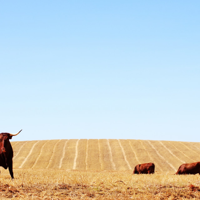 """""""Cows in dry field"""" stock image"""