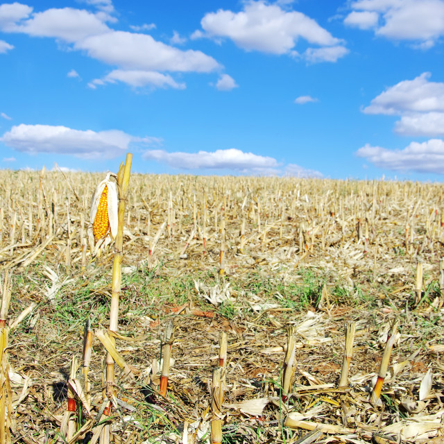 """Stubble with corn cobs on the ground"" stock image"