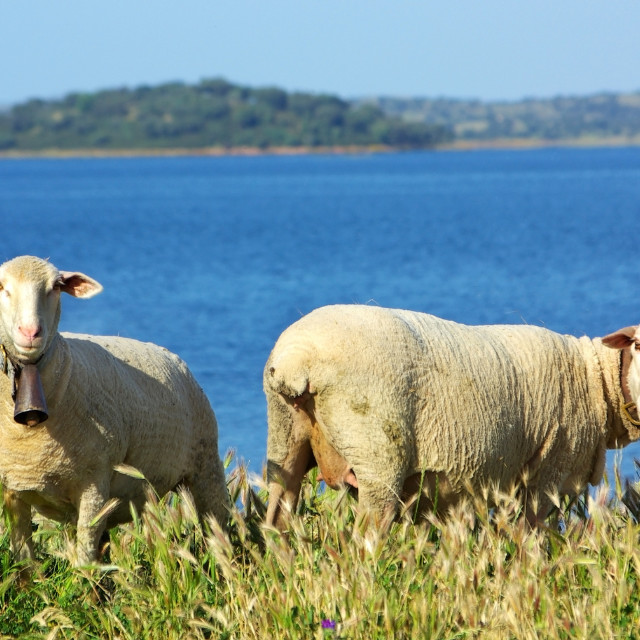 """""""Sheeps graze in the pasture, Portugal"""" stock image"""