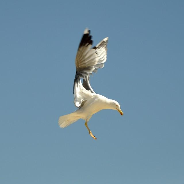 """""""Landing Gull"""" stock image"""