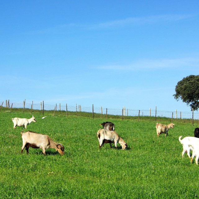 """""""goats grazing in green field"""" stock image"""
