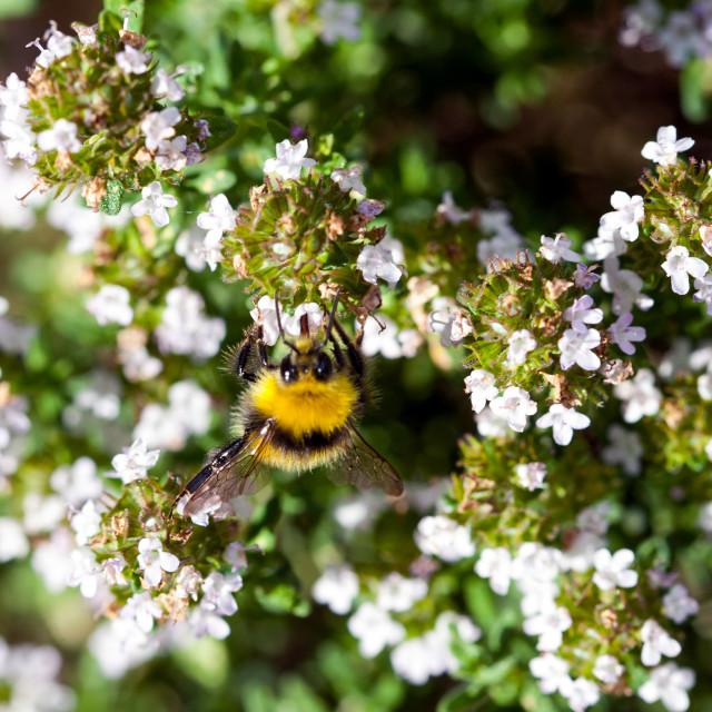 """""""Bee on Thyme (always good)"""" stock image"""