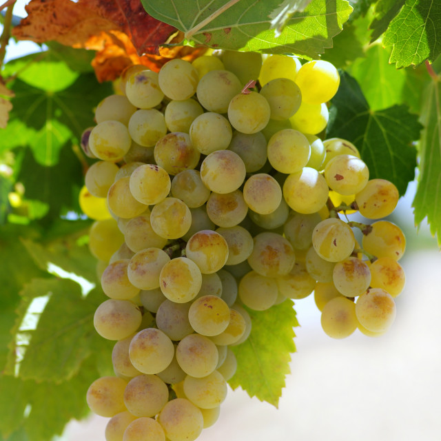 """""""Green grapes on vine in Portugal."""" stock image"""