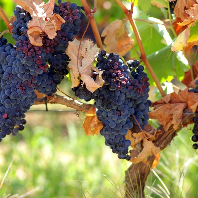 """Black grapes on vine in Portugal"" stock image"