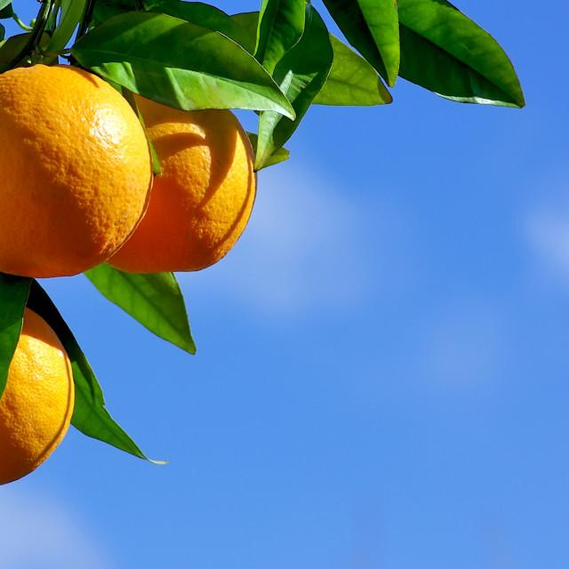 """""""oranges hanging tree"""" stock image"""
