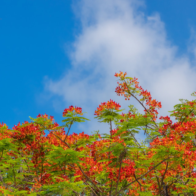 """""""Royal Poinciana, Flamboyant, Flame Tree in the blue sky"""" stock image"""