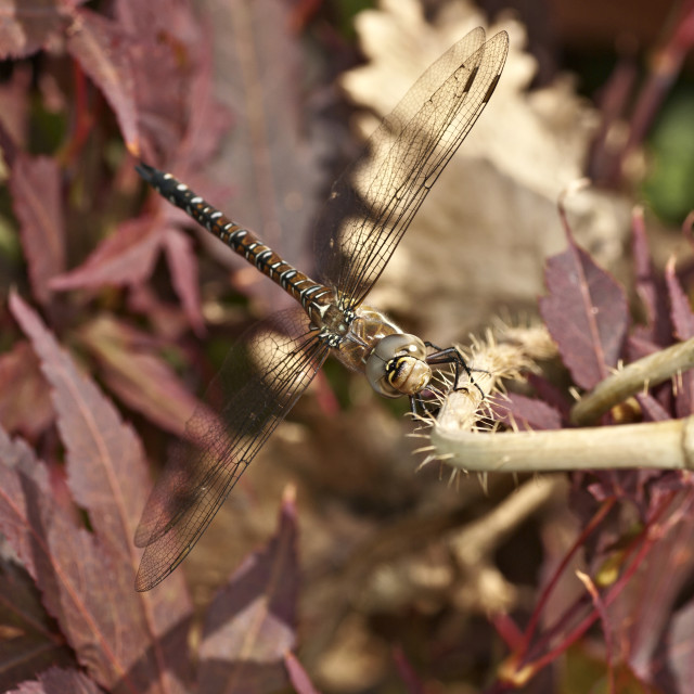 """""""Migrant Hawker Dragonfly"""" stock image"""
