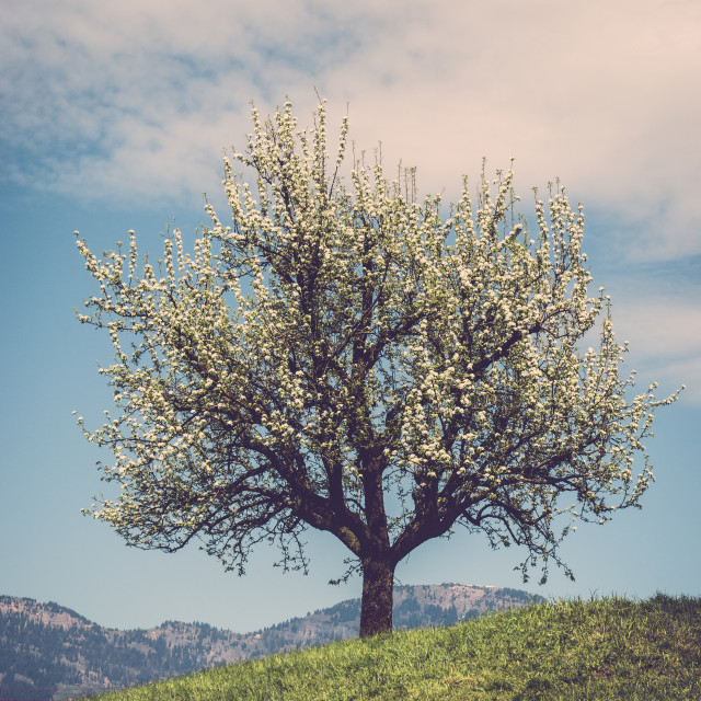 """Blossom tree on a hill in Switzerland"" stock image"
