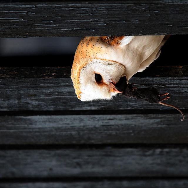 """Barn Owl With Prey"" stock image"