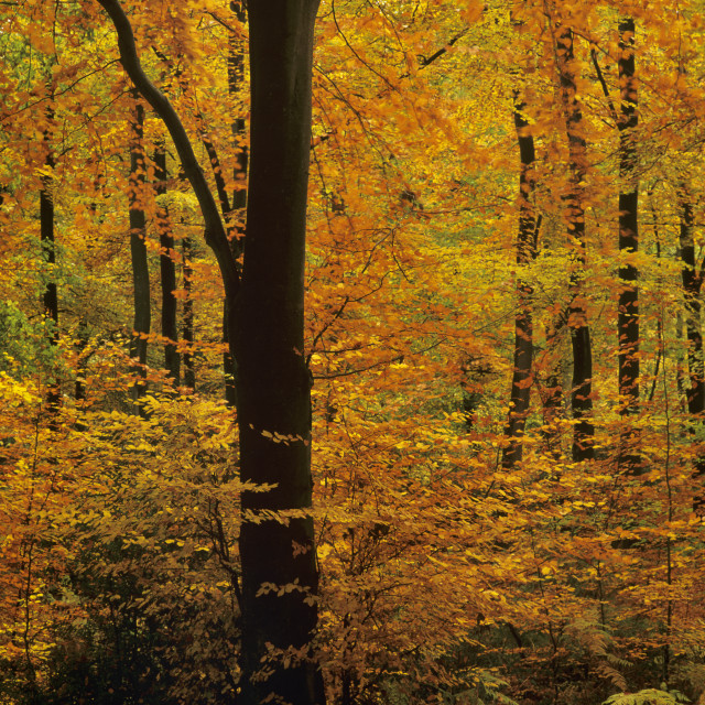 """Beech Wood in Autumn"" stock image"
