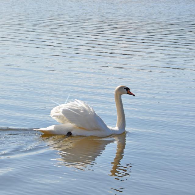 """White swan swimming"" stock image"