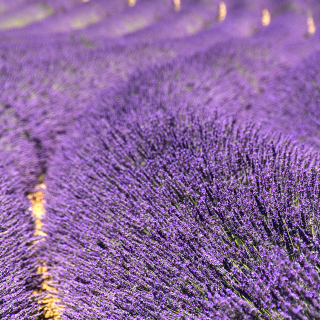 """Lavander waves"" stock image"
