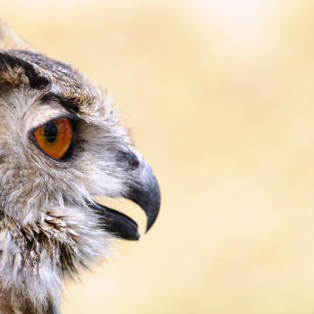 """""""Eagle Owl."""" stock image"""