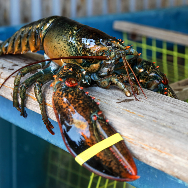 """Big lobster"" stock image"