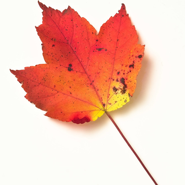 """""""Colored leaf"""" stock image"""