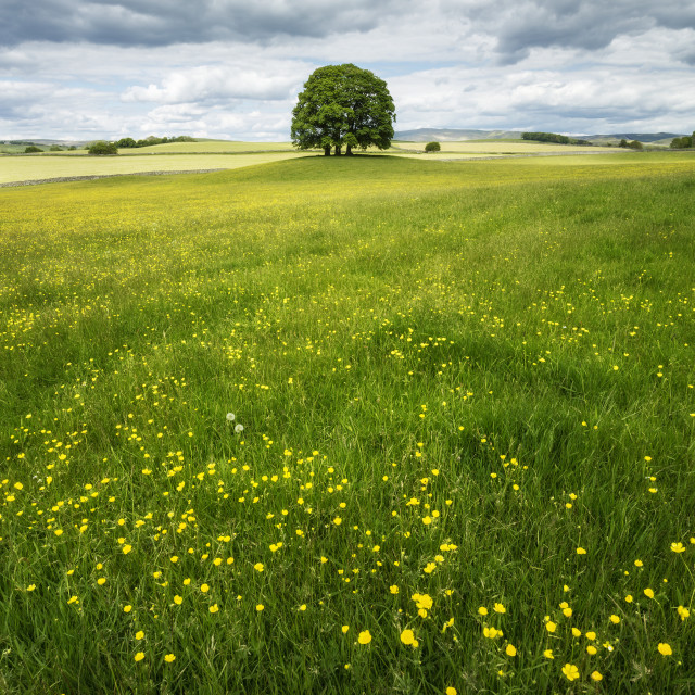"""Buttercups and Trees"" stock image"