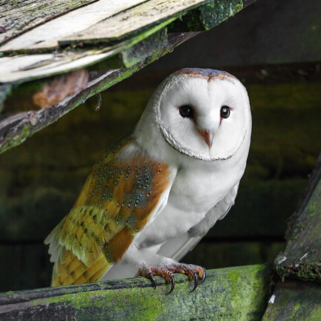 """Barn owl resting in an old building"" stock image"