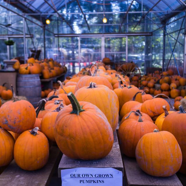 """pumpkins at the market"" stock image"