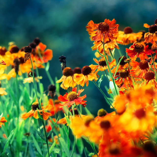 """Wild Heleniums"" stock image"