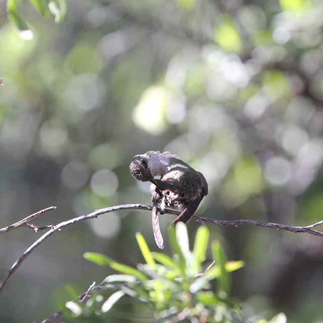 """Hummingbird Preening"" stock image"