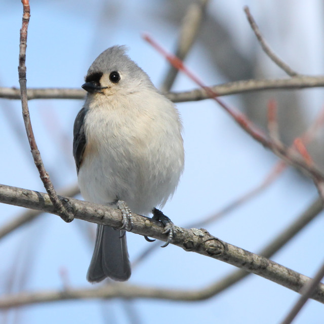 """Tufted Titmouse in Tree"" stock image"