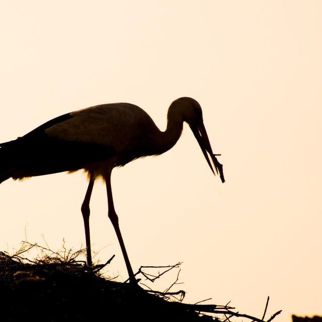 """""""Nesting Stork"""" stock image"""
