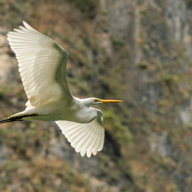 """Flying Great Egret"" stock image"