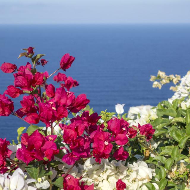"""Santorini Flowers"" stock image"