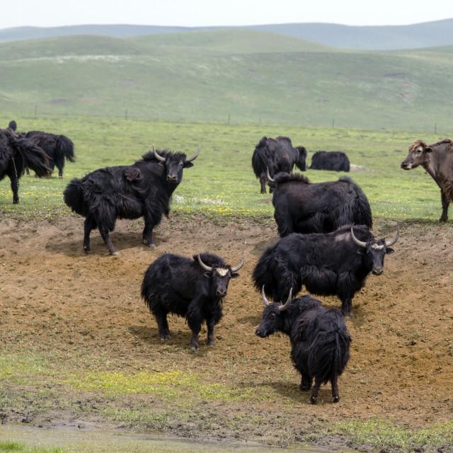 """""""Tibetan Yaks"""" stock image"""