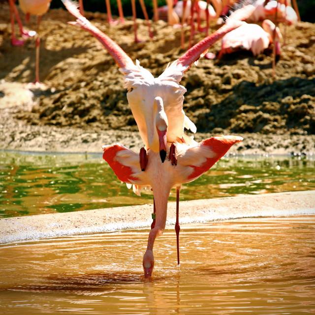 """Flamingo mating dance"" stock image"