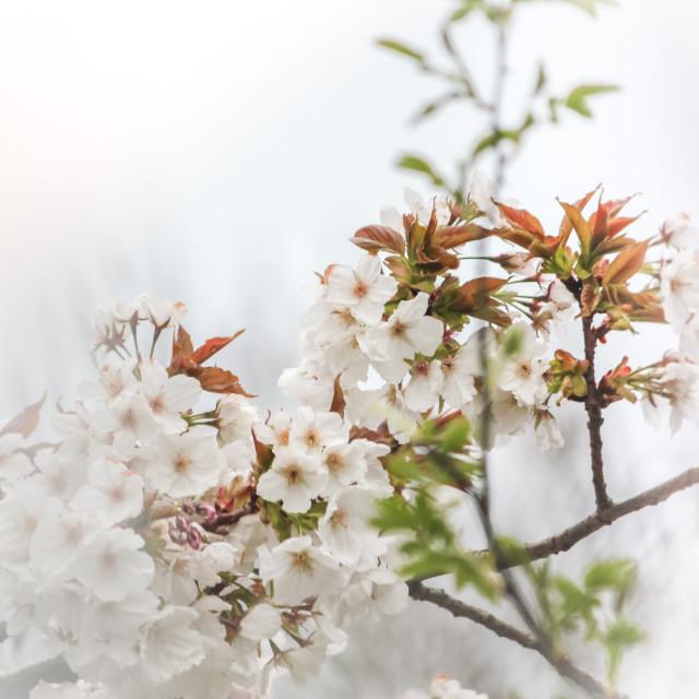 """""""Soft Cherry Blossom"""" stock image"""