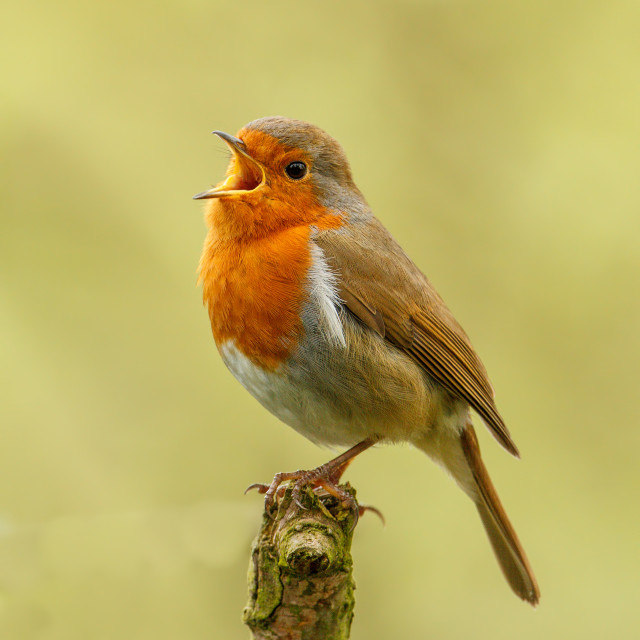"""""""Robin in song"""" stock image"""