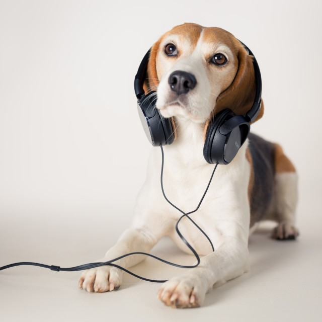 """DJ Beagle"" stock image"