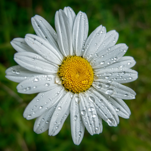 """Wet Daisy"" stock image"