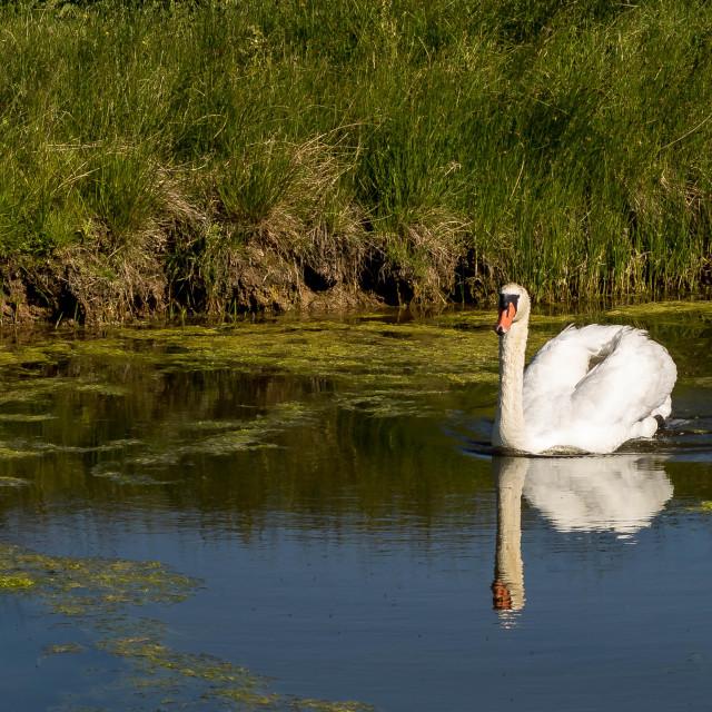 """Serene Swan"" stock image"