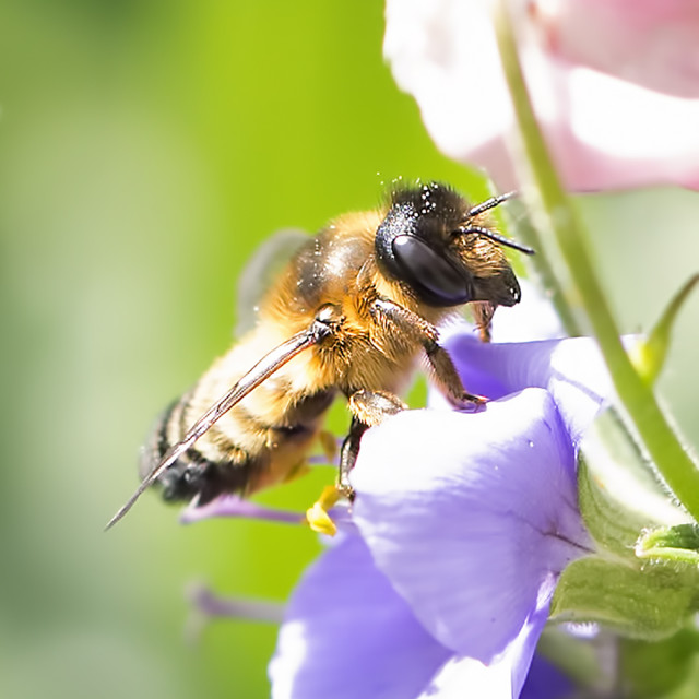 """Bee posing on a purple flower"" stock image"