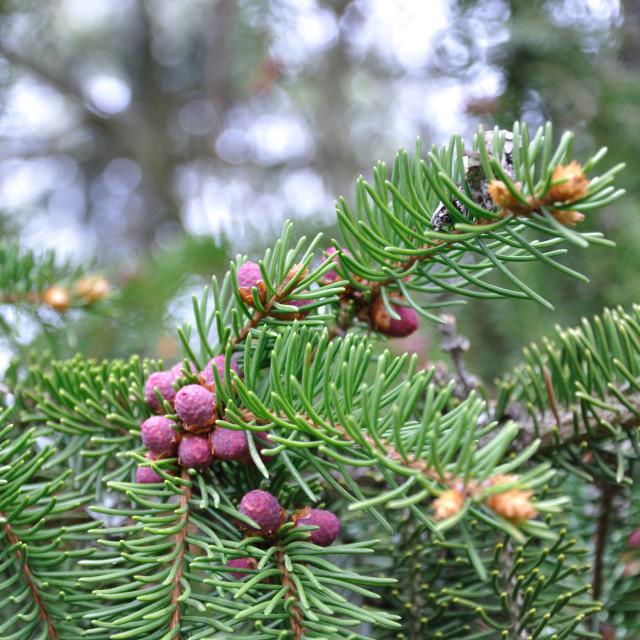 """""""Pink baby fir cones"""" stock image"""
