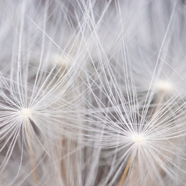 """Dandelion seeds background"" stock image"