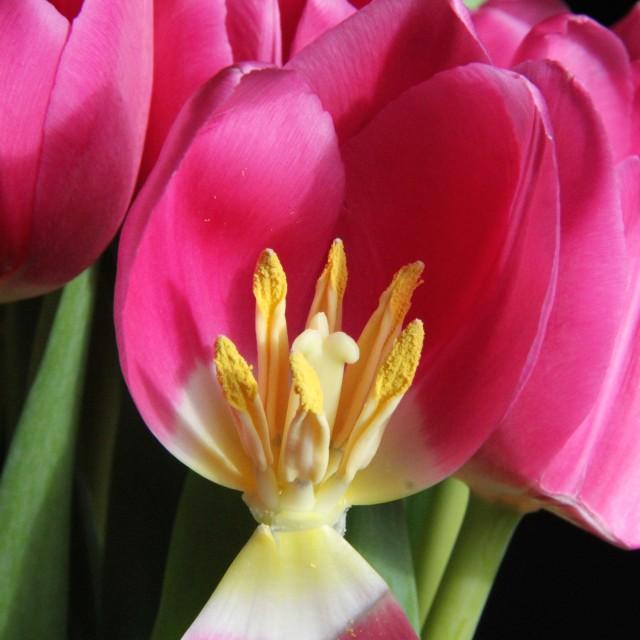 """""""Pink Tulip Cut Away"""" stock image"""