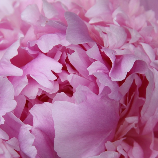 """Close Up of Peony Flower"" stock image"