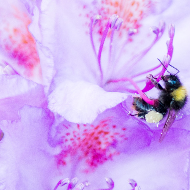 """""""Bumblebee and Rhododendron"""" stock image"""