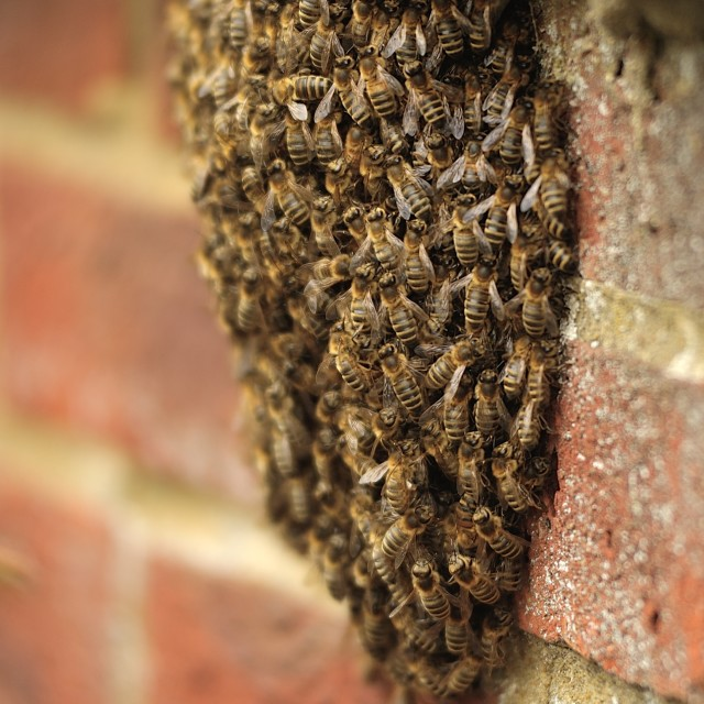 """Honey Bee Swarm"" stock image"