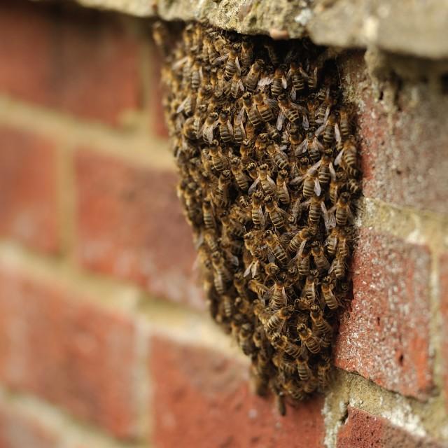 """""""Honey Bee Swarm"""" stock image"""