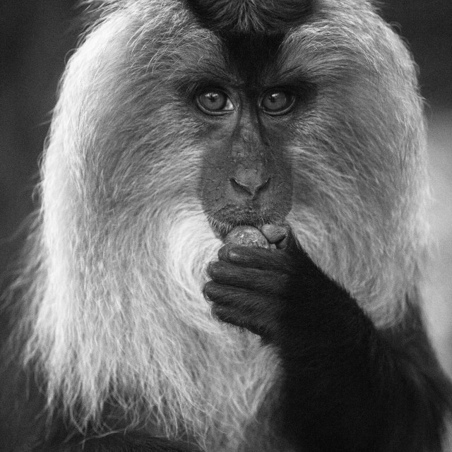 """""""Lion-Tailed Macaque"""" stock image"""