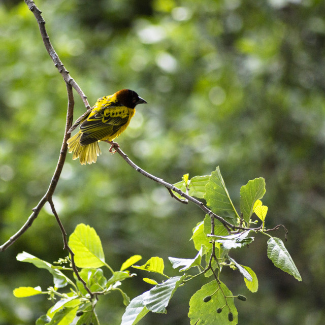 """Southern Masked-Weaver"" stock image"
