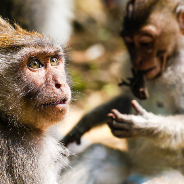 """Macaque in Awe"" stock image"