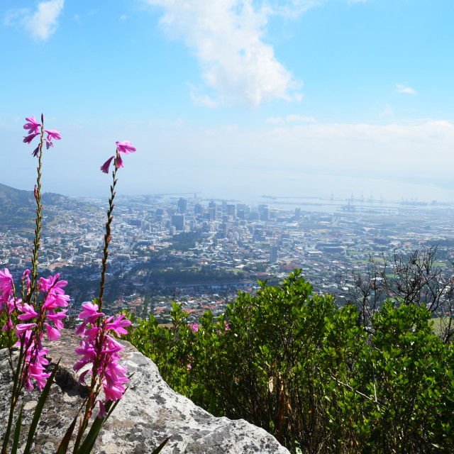 """Cape Town Flower"" stock image"