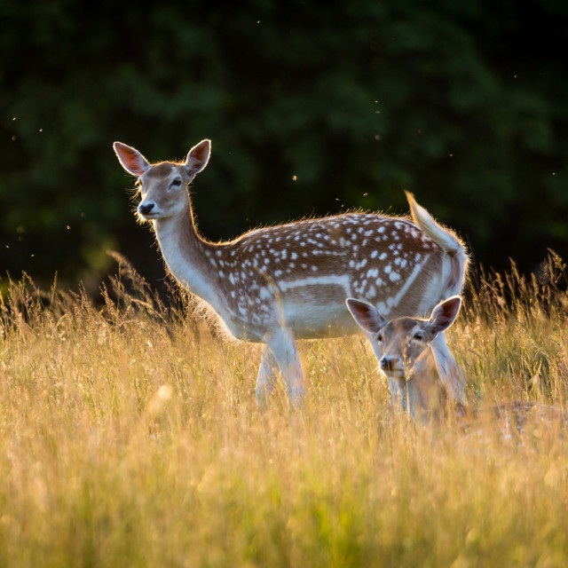 """""""Fawns"""" stock image"""