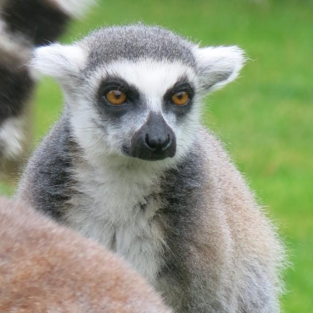 """""""Lemur lovely"""" stock image"""