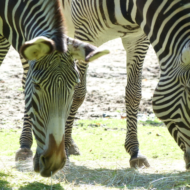 """zebras grazing in the wild"" stock image"